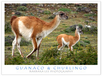 Baby Guanaco and Mom on the Move