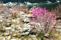 Redbud by the River
