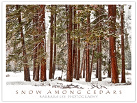 Snow Among Cedars