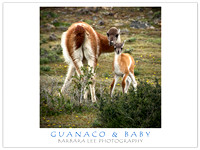 Baby Guanaco with Mom