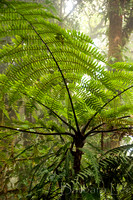 Tree Fern, Monteverde Cloud Forest